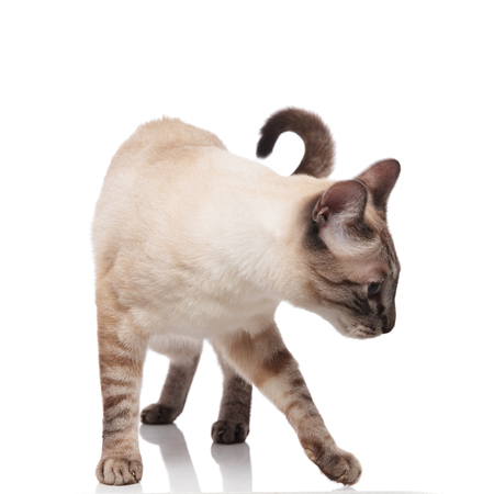 curious burmese cat standing on white background and looking down to side