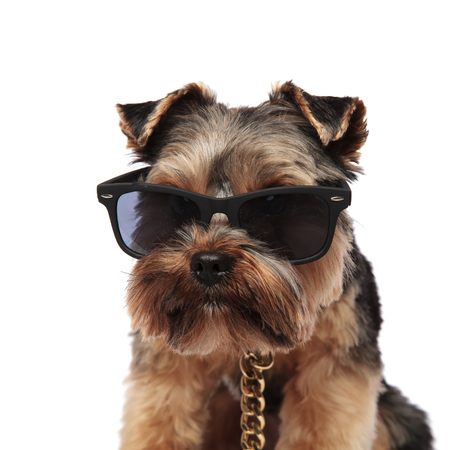 close up of yorkshire terrier with sunglasses and golden collar sitting on white background looks to side
