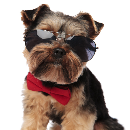 close up of stylish yorkshire terrier wearing sunglasses and red bowtie sitting on white background