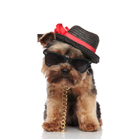 gentleman yorkie terrier wearing sunglasses, collar and black hat standing on white background