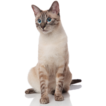 curious grey metis cat sits on white background and looks to side