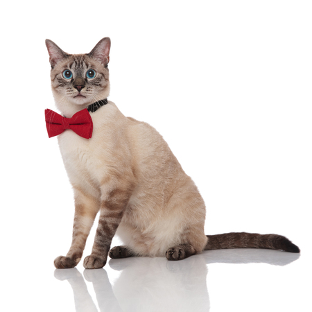 side view of gentleman burmese cat wearing a red bowtie sitting on white background