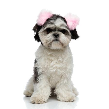 furry shih tzu wearing pink earmuffs sitting on white background