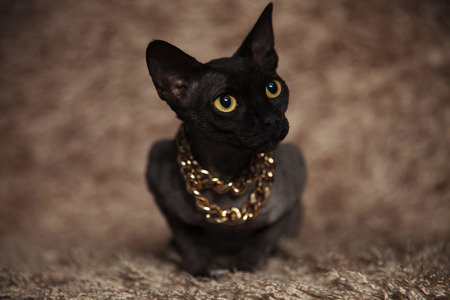 adorable metis cat wearing golden necklace looks to side while lying on brown furry background