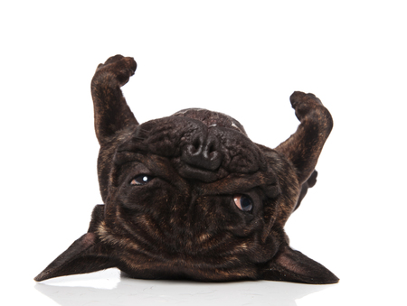funny french bulldog lies on its back with legs in the air on white background