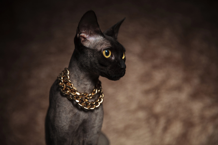 head of curios seated metis cat wearing golden necklace looking to side on brown furry background