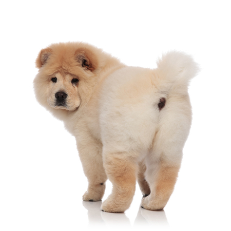 back view of adorable chow chow standing on white background Archivio Fotografico