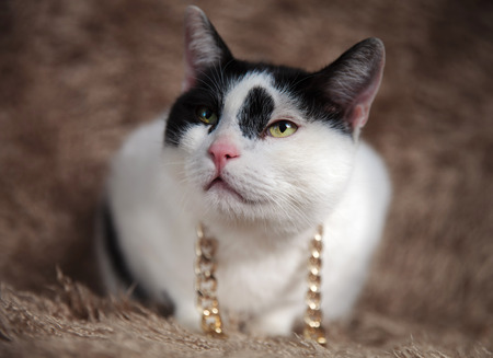 curious metis cat wearing golden chain around neck looks up to side while lying on brown fur background Stock Photo