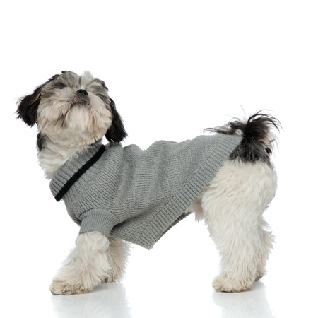 side view of curious shih tzu wearing grey sweatshirt standing on white background and looking up 版權商用圖片