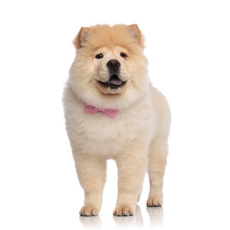 adorable chow chow wearing pink bowtie looks to side while standing on white background and panting
