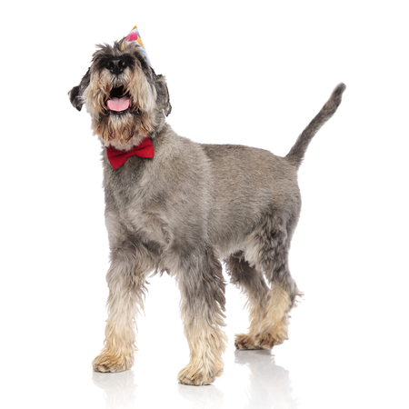 side view of classy schnauzer wearing birthday hat looking up while standing on white background and panting