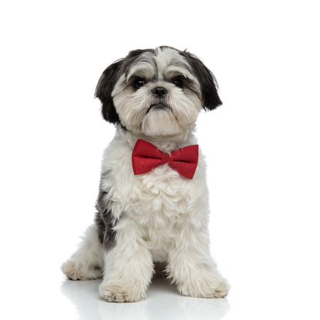 elegant shih tzu with red bowtie sits on white background