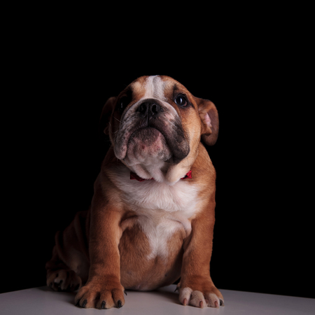 elegant english bulldog wearing red bowtie sitting on white table on black background