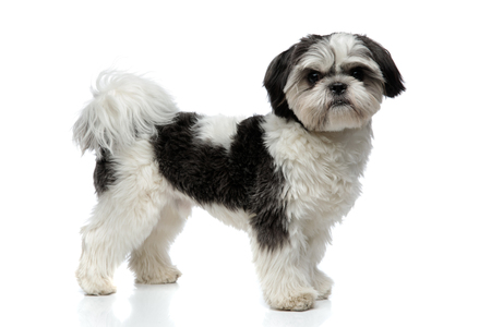 side view of furry black and white shih tzu standing on white background Stock fotó