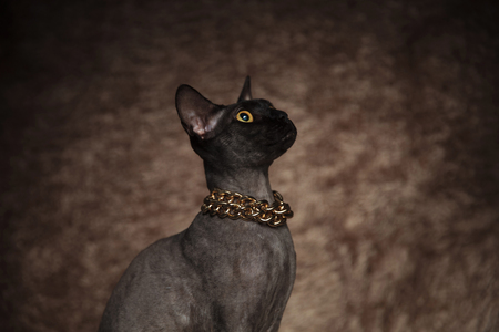 close up of surprised metis cat wearing golden necklace looking up to side while sitting on brown fur background