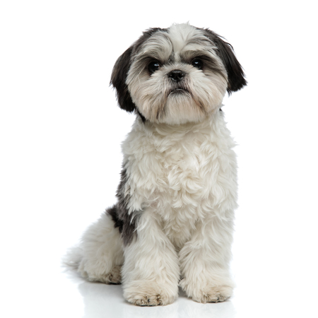 adorable furry shih tzu sitting on white background