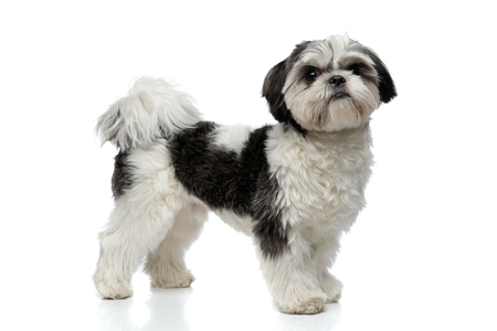 side view of cute and small shih tzu standing on white background