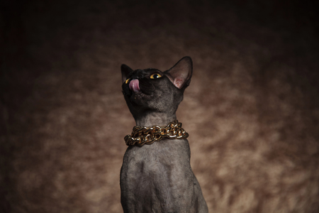 close up of hungry metis cat wearing golden collar looking up while sitting on brown fur background