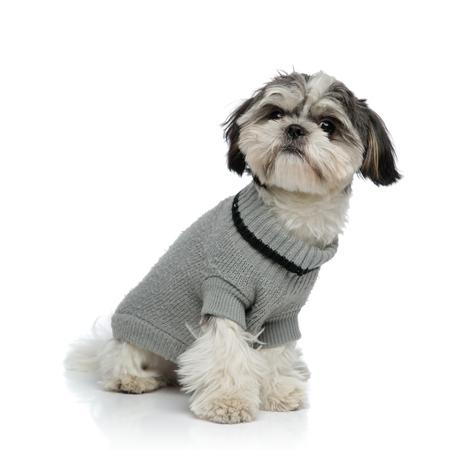 adorable shih tzu wearing grey sweater sitting on white background