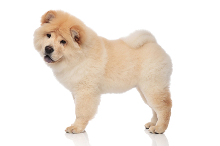 side view of yellow chow chow with blue tongue exposed standing on white background and looking down to side Archivio Fotografico