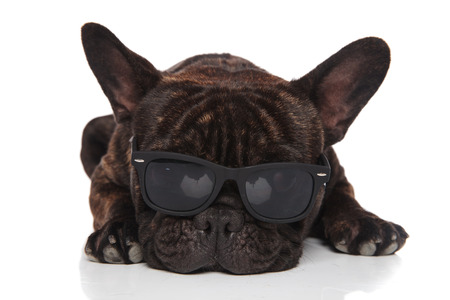 adorable french bulldog wears cute sunglasses and rests on white background while looking down