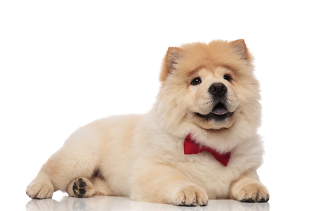 adorable chow chow wearing red bowtie lying on white background and looking to side with blue tongue exposed