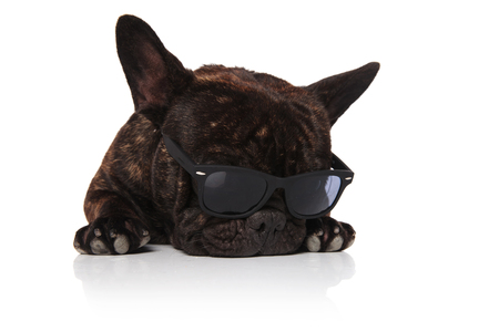 adorable french bulldog wearing sunglasses relaxes on white background and looks down to side Stock Photo