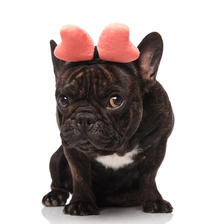 adorable french bulldog wearing pink ribbon headband sitting on white background and looking to side Stock Photo