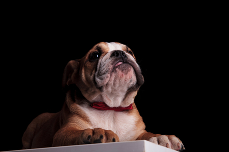 gentleman english bulldog lying on white table on black background and looking up to side