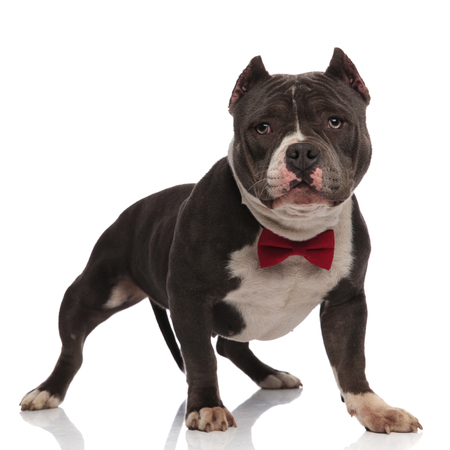 gentleman american bully wearing red bowtie standing on white background