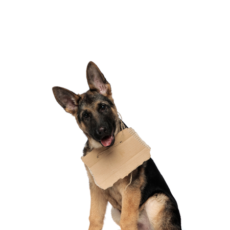close up of seated german shepard wearing carton sign around neck and panting on white background Stock Photo