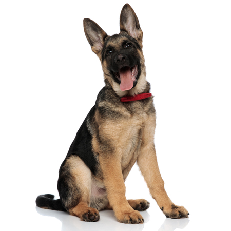 excited german shepard wearing red bowtie looks up while sitting on white background Stock Photo