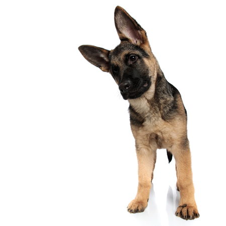 funny german shepard looks down to side while leaning head to side and standing on white background