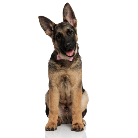 adorable german shepard with mouth open and pink bowtie sitting on white background and looking down to side