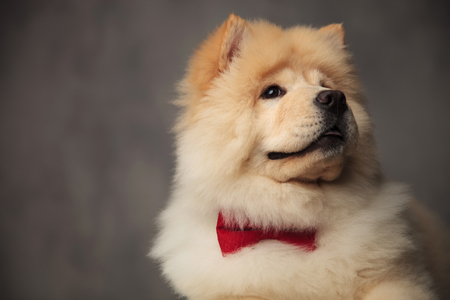 head of gentleman chow chow wearing red bowtie looking up to side while standing on grey wallpaper background and panting