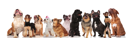 team of many curious dogs panting and looking up while standing and sitting on white background
