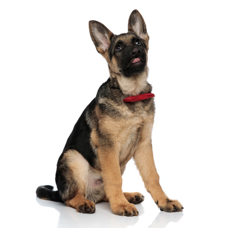 funny gentleman german shepard looks up with tongue exposed while sitting on white background Stock Photo
