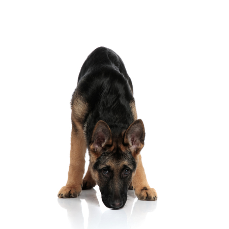 black and brown german shepard sniffing while standing on white background