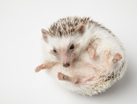 cute african dwarf hedgehog resting on white background on its back