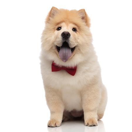 Gentleman Chow Chow sitzt auf weißem Hintergrund und sieht aufgeregt aus, während er keucht