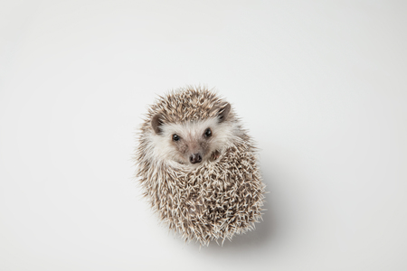 cute grey hedgehog rests on its back on spikes on white background