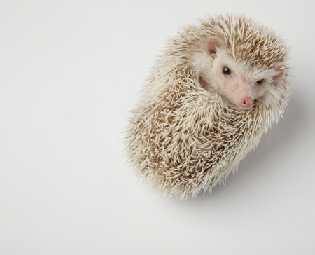 cute dwarf african hedgehog resting on its back looks to side on white background