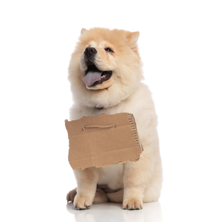 cute chow chow with empty billboard around neck looks up to side while panting and sitting on white background Stock Photo