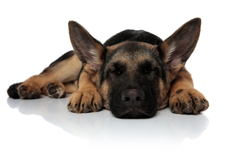 cute black and brown shepard dog sleeping and lying on white background
