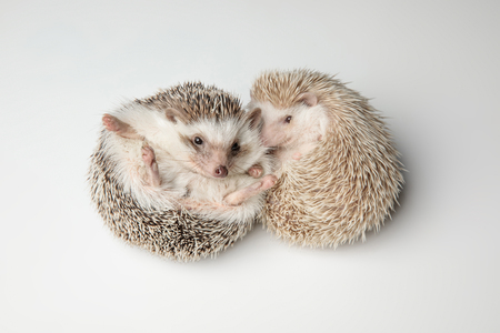 cute african dwarf hedgehog couple resting on back on white background Imagens