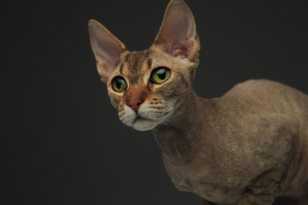Close portrait of a cute little peterbald cat sitting while looking at a side on dark background