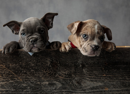 two curious american bully puppies wearing bow ties in a wooden box on grey background Stock Photo