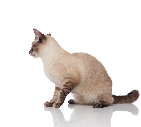 side view of adorable seated burmese cat looking down to side on white background