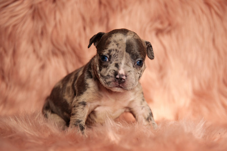 side view of cute brown American bully sitting on pink furry background