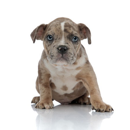 American bully sitting and looking curiously on white background Imagens
